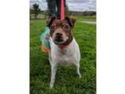 Adopt Helen a White - with Brown or Chocolate Jack Russell Terrier / Mixed dog