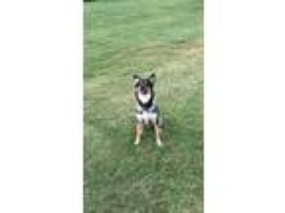 Adopt Toby a Black - with Tan, Yellow or Fawn German Shepherd Dog / Collie /