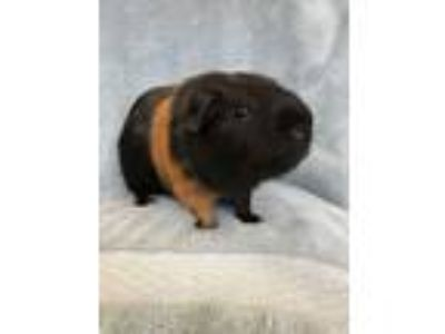 Adopt Thompson a Black Guinea Pig small animal in Imperial Beach, CA (23978967)