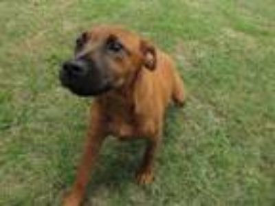 Adopt BEAR BEAR a Black Mouth Cur, Labrador Retriever
