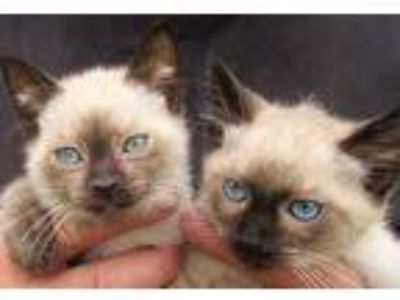 Adopt Chip and Kip a Cream or Ivory (Mostly) Siamese (medium coat) cat in