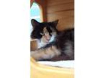 Adopt Tesla a Calico or Dilute Calico Domestic Longhair / Mixed (long coat) cat