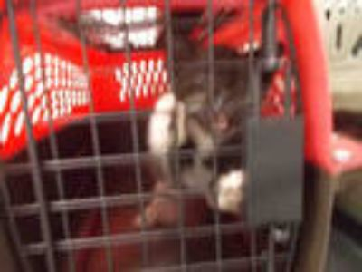 Adopt MOUSE a Black & White or Tuxedo Domestic Shorthair / Mixed (short coat)
