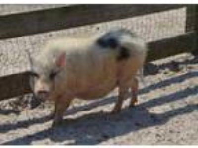 Adopt Adeline (Pig) a Pot Bellied