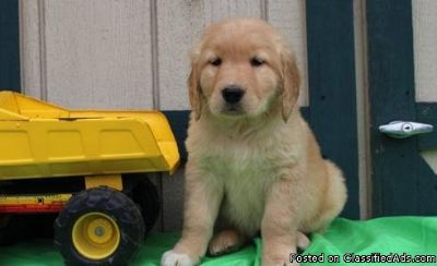 Beautiful male and female Golden Retriever Puppies
