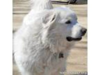 Adopt Angel in CT: Loves Playing a Great Pyrenees