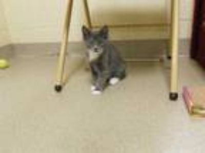 Adopt CLOVE a Gray or Blue Domestic Shorthair / Mixed (short coat) cat in Vero
