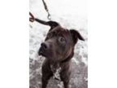 Adopt Cooper a Labrador Retriever / Cane Corso / Mixed dog in Crandon