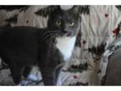 Adopt Brewsky a Domestic Short Hair