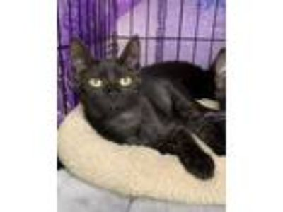 Adopt Whiskers a Black (Mostly) Domestic Shorthair / Mixed cat in Dallas