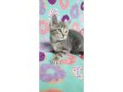 Adopt Ember a Gray, Blue or Silver Tabby Domestic Shorthair (short coat) cat in