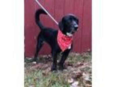 Adopt Leia a Black Basset Hound / Labrador Retriever / Mixed dog in Columbia