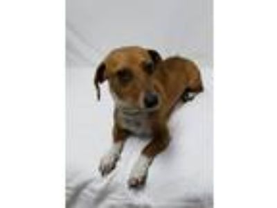 Adopt Brodie a Brown/Chocolate - with White Dachshund / Mixed dog in Cranston