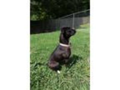 Adopt Ariel a Black - with White Boxer / Mixed dog in Odenville, AL (22192141)