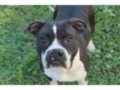 Adopt Amaya a Pit Bull Terrier, Boxer