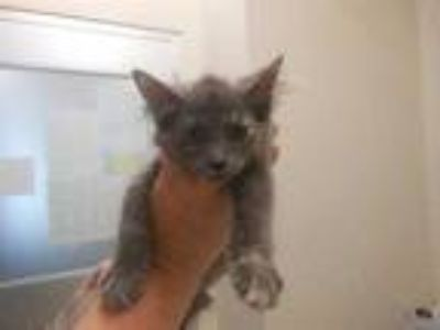 Adopt Lightning a Gray or Blue Domestic Longhair / Domestic Shorthair / Mixed