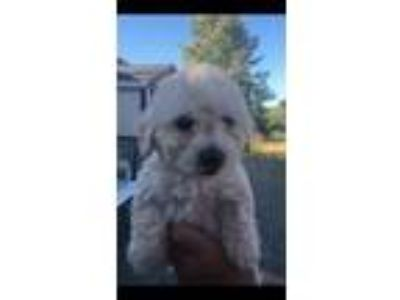 Adopt CUPCAKE a Tan/Yellow/Fawn Miniature Poodle / Bichon Frise / Mixed dog in