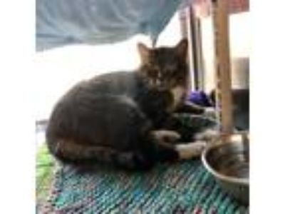 Adopt P.K. a Brown or Chocolate Domestic Shorthair / Domestic Shorthair / Mixed