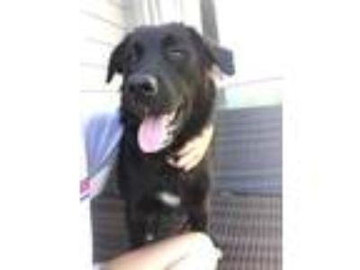 Adopt Shiloh a Black Labrador Retriever, Border Collie