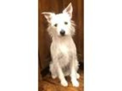 Adopt LUNA-LHB a West Highland White Terrier / Westie