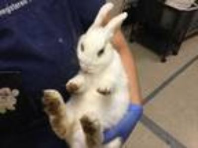 Adopt Other a White Other/Unknown / Mixed rabbit in Jurupa Valley, CA (25606965)