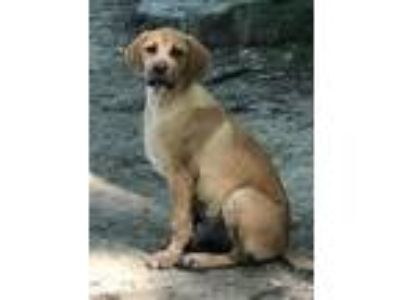 Adopt Goose - gorgeous, big healthy puppy a Labrador Retriever