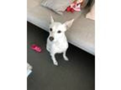 Adopt Chloe a White Jack Russell Terrier / Labrador Retriever / Mixed dog in