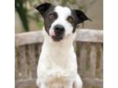 Adopt Wally a White - with Tan, Yellow or Fawn Jack Russell Terrier dog in