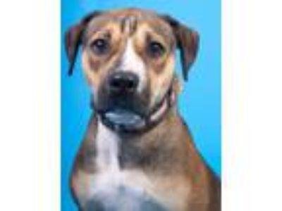 Adopt Sasha a Boxer, Hound