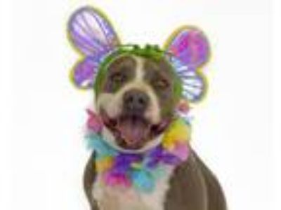Adopt ALEXIS a Pit Bull Terrier