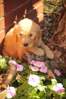 Chloe: Female Goldendoodle