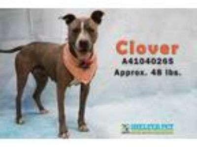 Adopt Clover K57 3-13-19 a Brown/Chocolate American Pit Bull Terrier / Mixed dog