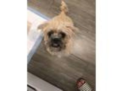 Adopt Clover a Black - with Tan, Yellow or Fawn Brussels Griffon / Pug dog in La