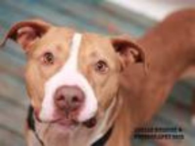 Adopt JORDY NELSON a Tan/Yellow/Fawn Pit Bull Terrier / Mixed dog in Nashville
