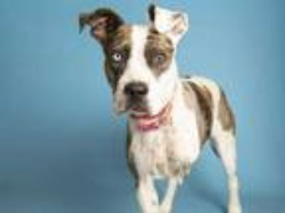Adopt JERI a White American Pit Bull Terrier / Mixed dog in Phoenix