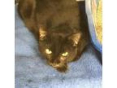 Adopt Icon a All Black Domestic Shorthair / Domestic Shorthair / Mixed cat in