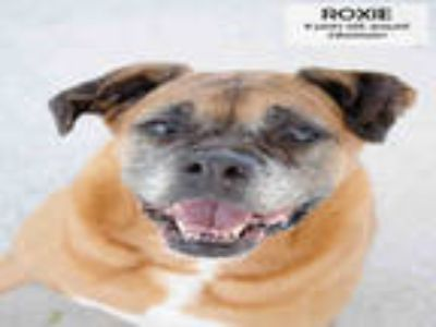 Adopt ROXIE a Brown/Chocolate - with White Boxer / Mixed dog in Supply