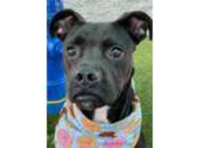 Adopt Mariah a Black Boxer / American Pit Bull Terrier / Mixed dog in