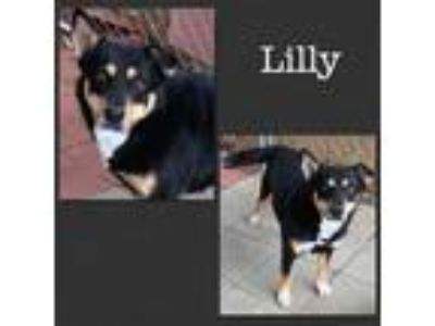 Adopt Lilly a Black - with Tan, Yellow or Fawn Australian Shepherd / Mixed dog