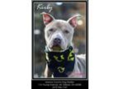 Adopt Kirby a Tan/Yellow/Fawn - with White American Pit Bull Terrier / Mixed dog