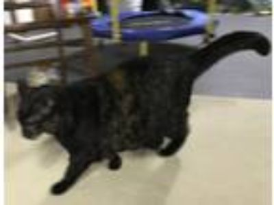 Adopt Jasmine a Calico or Dilute Calico Calico cat in Pawtucket, RI (25336412)