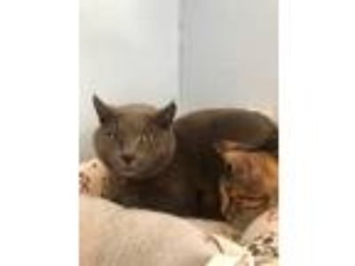 Adopt Matty a Gray or Blue Domestic Shorthair (short coat) cat in Loogootee