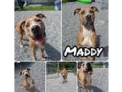 Adopt 42260000 a Tan/Yellow/Fawn American Pit Bull Terrier / Mixed dog in
