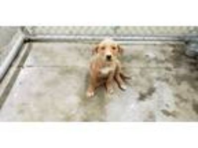 Adopt McCree a Tan/Yellow/Fawn - with White Retriever (Unknown Type) / Mixed dog
