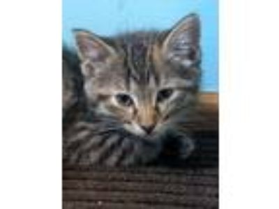 Adopt Jelly C2661 a Domestic Short Hair