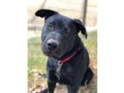 Adopt Talley a Labrador Retriever