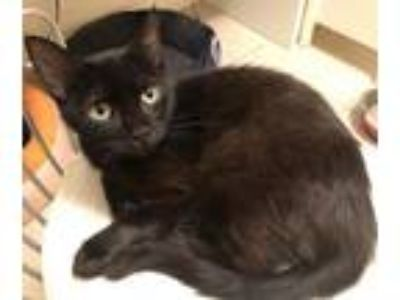 Adopt Mansfield a All Black Domestic Shorthair / Mixed (short coat) cat in