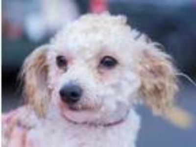 Adopt Blippi a Tan/Yellow/Fawn Cocker Spaniel / Poodle (Miniature) / Mixed dog