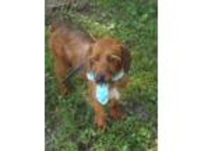 Adopt Sloopy a Wirehaired Terrier