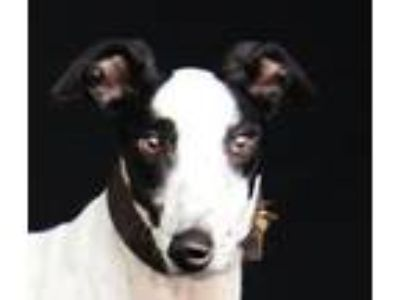 Adopt Gordon's Champion a Greyhound